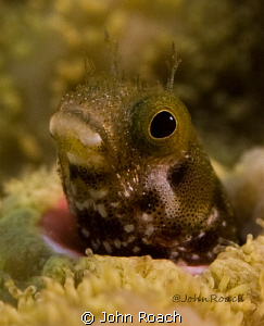 Acanthemblemaria maria &quot; Secretary Blenny&quot; by John Roach 